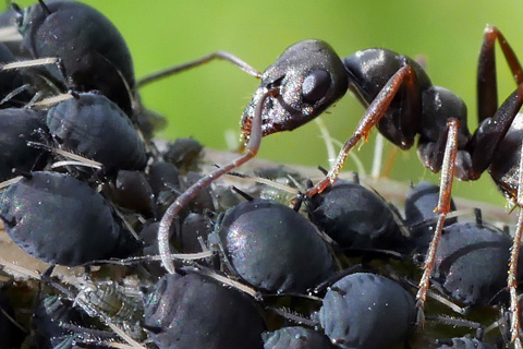 Aphid infestation ants colonize for honeydew