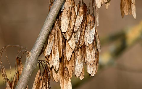 Ash trees produce stress crops when infested and dying from an emerald ash borer attack