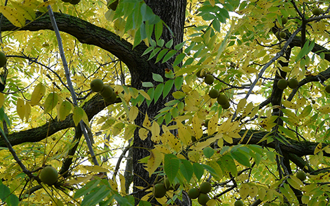Nearly every part of the black walnut tree contains juglone