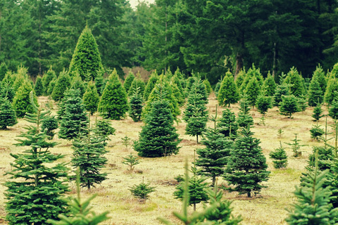 Christmas tree farm bug prevention
