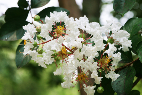 Crape Myrtle with white blooms in Roswell Ga