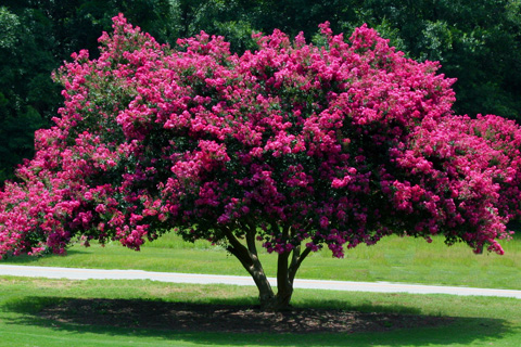 Alpharetta ga blooming trees archives 72 tree crepe myrtle tree on landscaped yard in alpharetta ga mightylinksfo