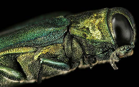 Agrilus planipennis emerald ash borer eab boring insect