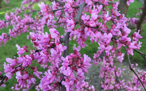 Eastern redbud flowering tree cercis canadensis