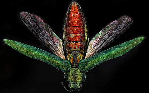 Adult emerald ash borer or agrilus planipennis with open wing covers
