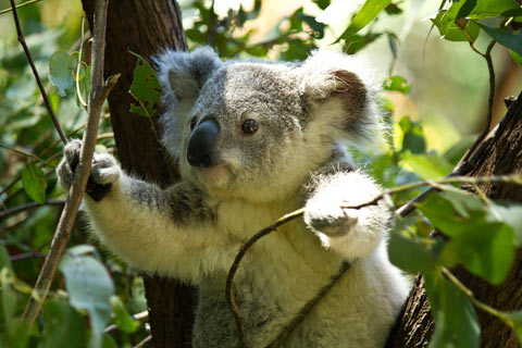 Mature eucalyptus tree with koala bear