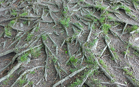 Overgrown invasive tree roots damage landscaping