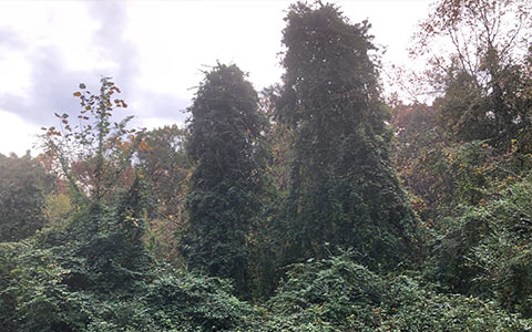 Kudzu vines overgrowing trees