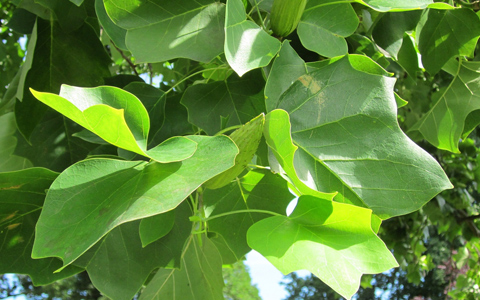 Tulip tree liriodendron tulipifera leaves