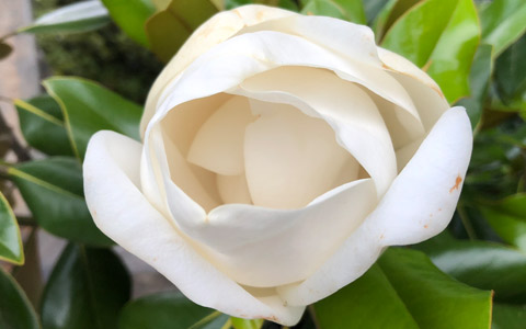 Magnolia grandiflora flower blooming in spring