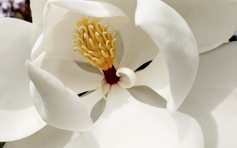 Magnolia grandiflora open white flower in spring