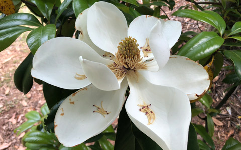 Magnolia grandiflora tree with open white flower