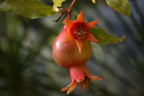 Alpharetta Ga pomegranate tree care tips