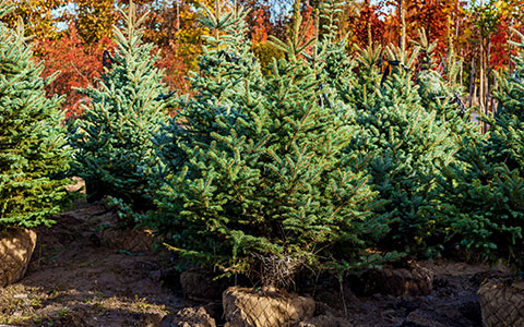 Selecting a potted christmas tree to plant after the holidays