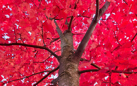 Red maple tree acer rubrum health and diseases