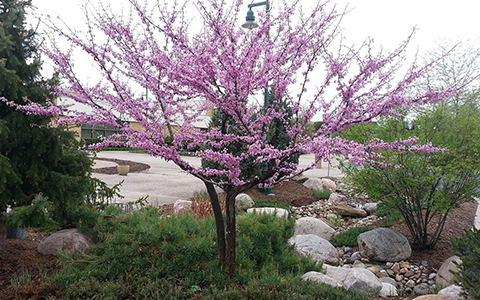 Small trees for tiny yards redbud