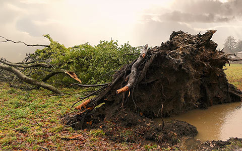 Severe weather can uproot and knock trees over this is known as windthrow one of many ways blowdown occurs