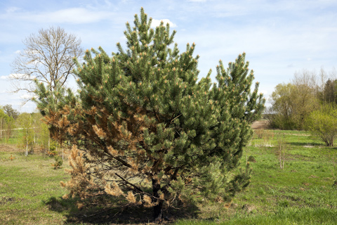 Spruce tree with dieback needs tree care