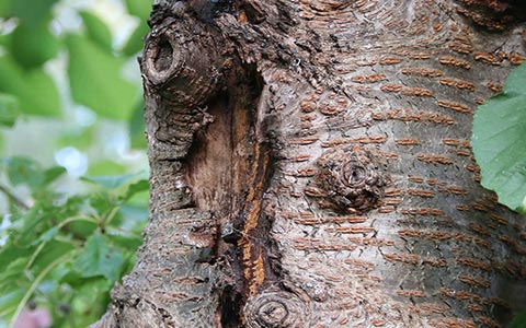 Canker from tree fungi on tree trunks and branches