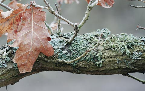 Tree fungi comprised of a fungus and an alga and harmless to trees
