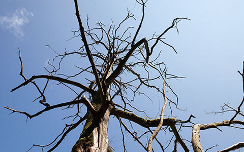 Trees dying from hydraulic failure can easily suffer blowdown in severe weather