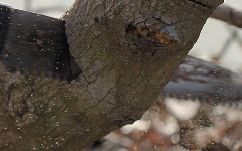 Tree fungi removal by aggressive pruning