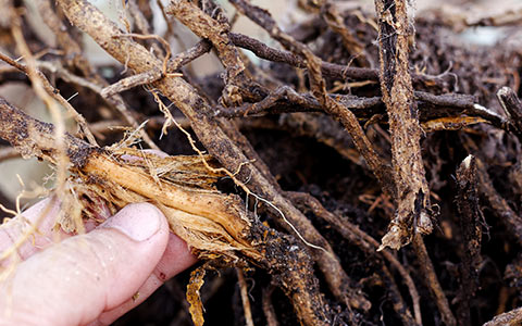 Root rot disease causes and identification