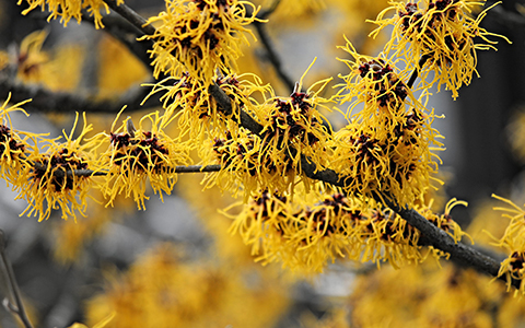 Small trees for tiny yards witch hazel