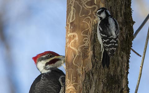 Two woodpeckers hunting for emerald ash borer larvae beneath the bark exposing larval galleries